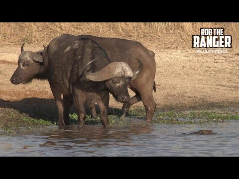 Crocodile Tries To Catch Buffalo As Hippos Watch (Introduced By Antony Raison)