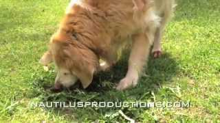 Golden Retriever Weed Eater - Lucky Dog Eats Dandelions Video