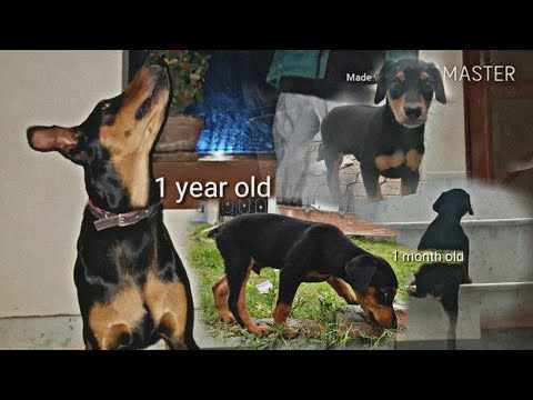 Doberman's transformation from 1 month to 1 year in Nepal |part 2|