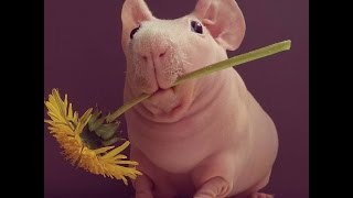Naked Guinea Pig Loves To Pose With His Favorite Foods