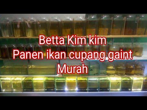Breeder ikan cupang plakat beralih ke Giant - Betta Kim ...