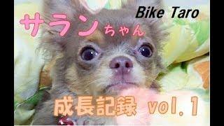 愛犬チワワのサランちゃん 成長記録vol.1