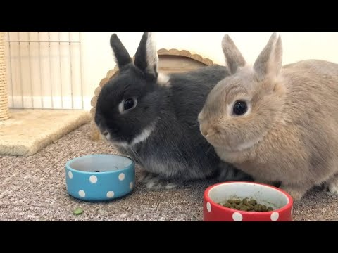 Morning Feeding Time - Netherland Dwarf Rabbits - Full Grown Size