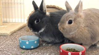 Morning Feeding Time - Netherland Dwarf Rabbits - Full Grown Size