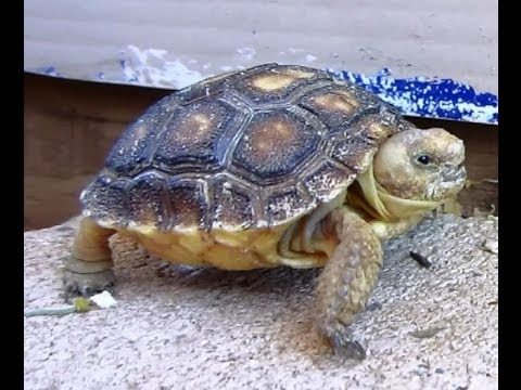 Desert Tortoises Laws Regarding