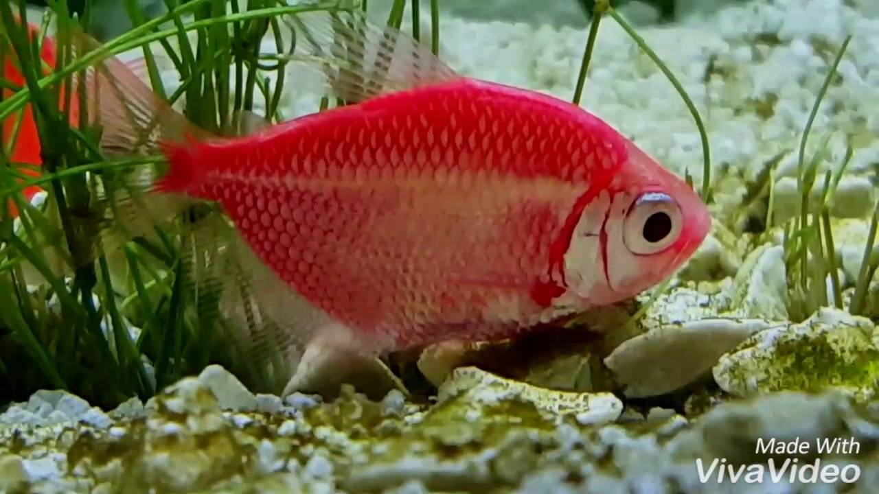 Glofish tetra fish youtube for Glo tetra fish