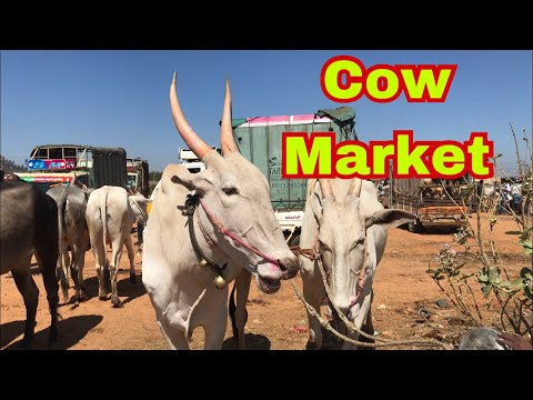 Indian cows market - best place to buy and sell