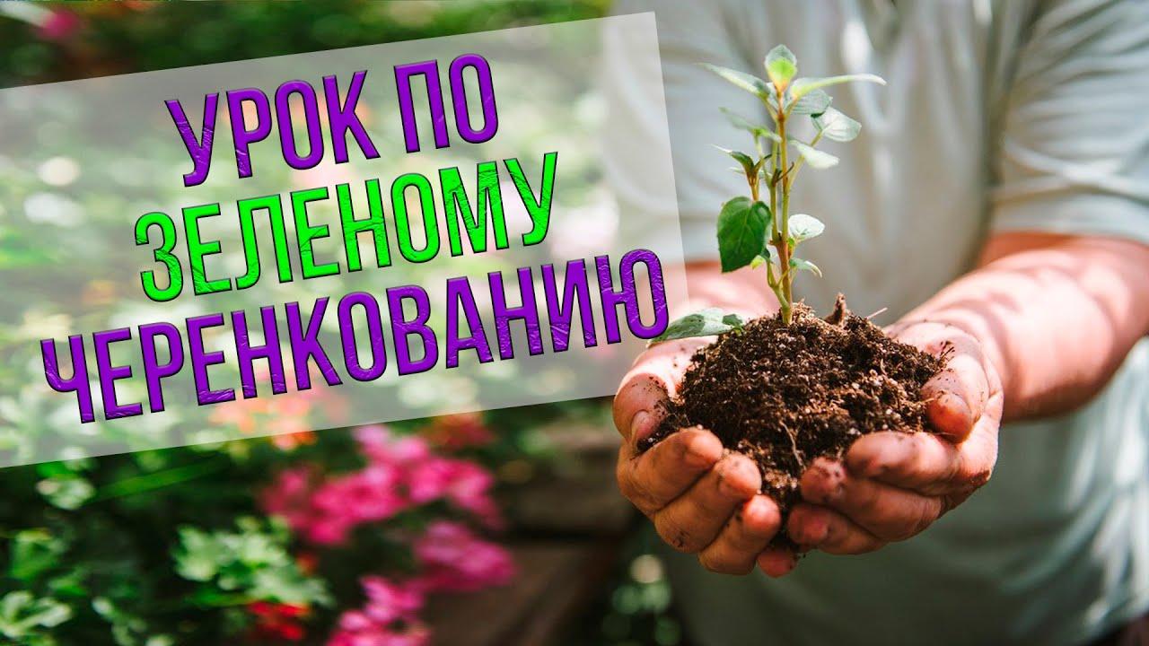 Урок по зеленому черенкованию плодовых и хвойных растений