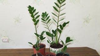 Замиокулькас хороший подарок для удачи и денег. Пересадка.(Замиокулькас, долларовое дерево является хорошим подарком для каждого. Как правильно пересадить замиокуль..., 2014-05-31T15:36:58.000Z)