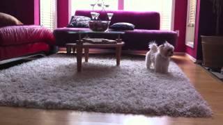 French Bulldog And Maltese Shih-tzu