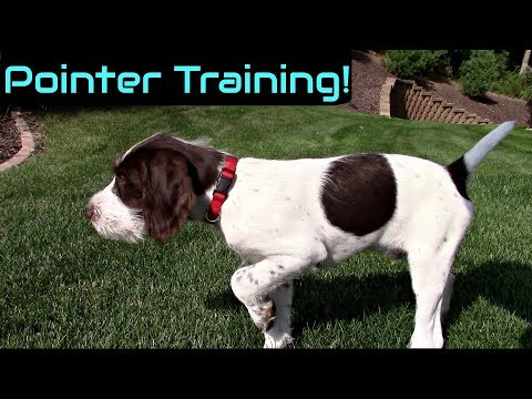 Wing Training a Pointer Puppy