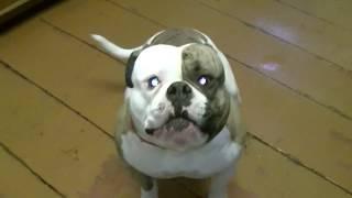 American Bulldog\Американский бульдог Брайс-Папа приехал!
