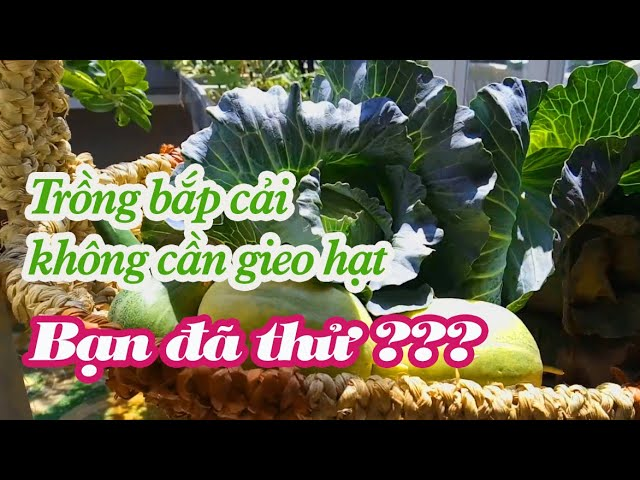Trồng bắp cải không cần hạt - Bạn đã thử chưa?