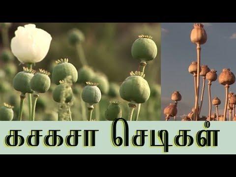 கசகசா(எ)பாப்பி செடியின் மருத்துவம் ( Poppy plant medicinal uses )