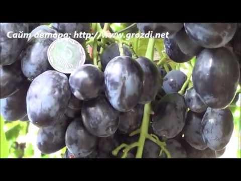Сорт винограда: Руслан