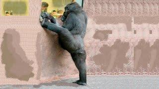 Горилла, танцующая, как балерина, покорила Интернет(Горилла из зоопарка танцует, как прима-балерина. Видео того, как трёхлетняя обезьяна кружится, выставив..., 2016-04-14T09:36:47.000Z)