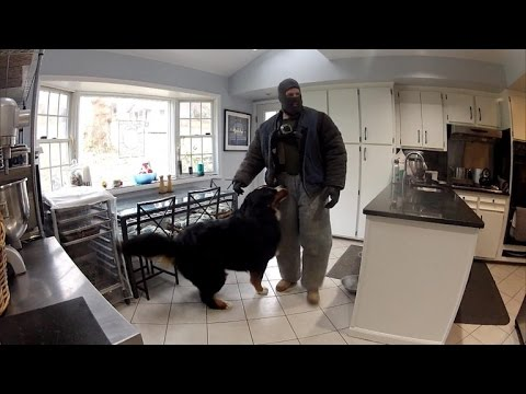 Thumbnail: Watch This Fake Burglar Break Into Home To See How Dogs Will React
