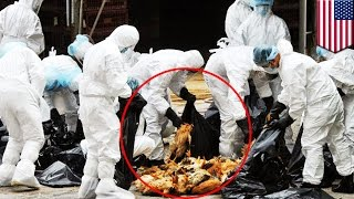 Bird flu in America: 33 million birds killed or to be killed in worst outbreak ever - TomoNews