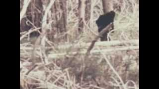 BIGFOOT Real Video Sasquatch Unknown CREATURE Wild MONSTER Film Documentary Unchallengeable Proof