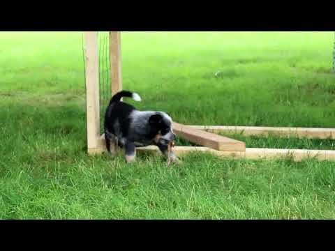 Blue Heeler- Australian Cattle Dog Puppies For Sale