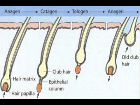 an overview of the rate and stages of hair growth