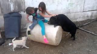 Pig And Dog Vs Girls