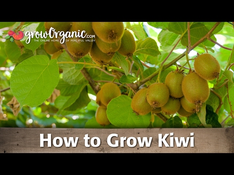 How to Grow Organic Kiwi
