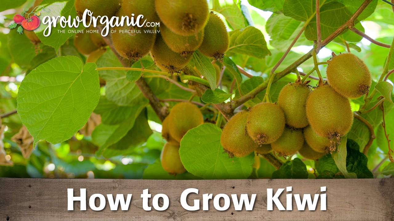 how to grow organic kiwi, Beautiful flower