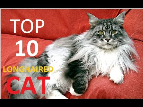 Top 10 Longhaired Cat Breeds You Need To Meet