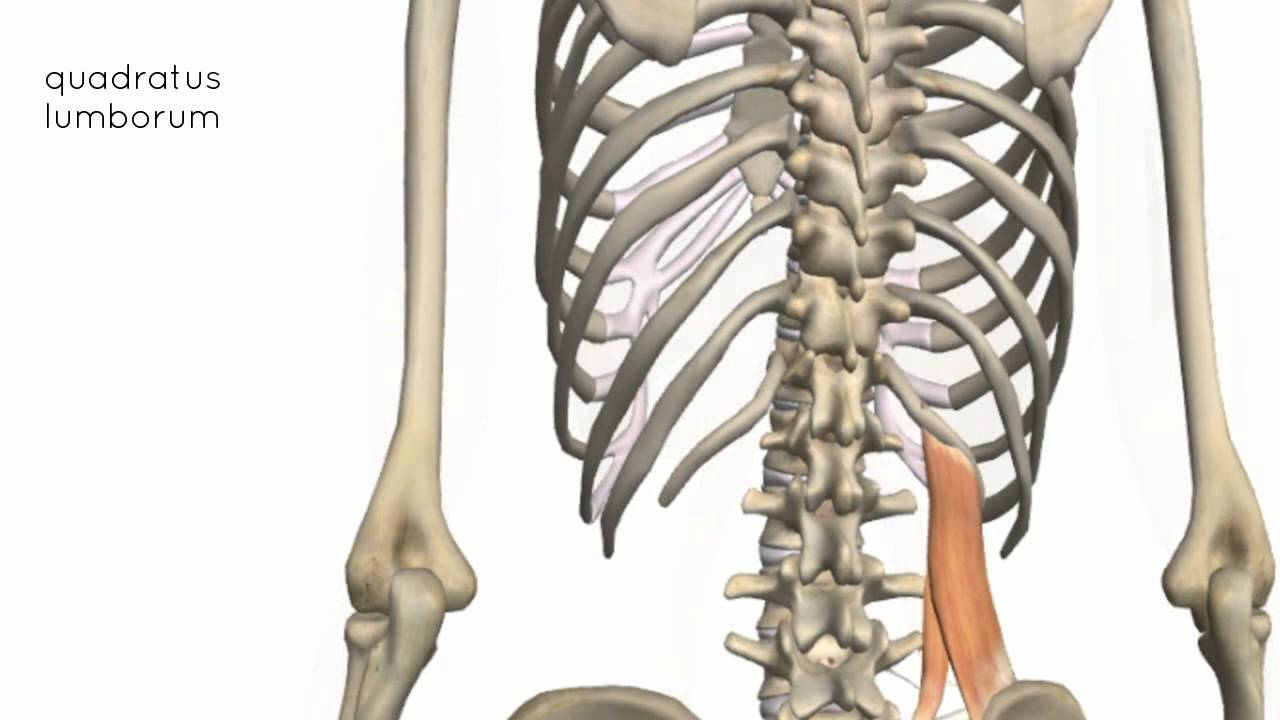 Muscles Of The Posterior Abdominal Wall 3d Anatomy Tutorial Youtube