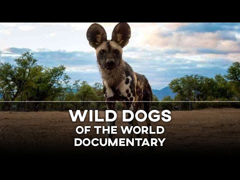 WILD DOGS OF THE WORLD! (National Geographic Documentary)