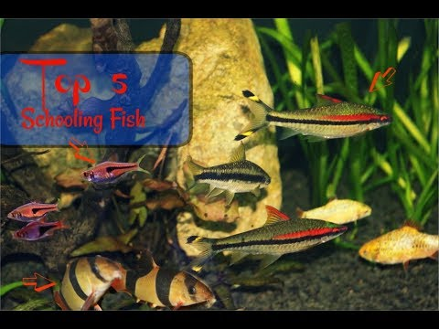 Top 5 Schooling Aquarium Fish