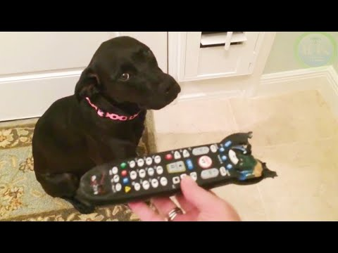 Funny GUILTY DOGS Compilation (Pets & Animals Caught)