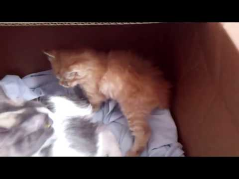 Missy's Red Tabby Longhaired Japanese Bobtail Kitten - 08/14/18