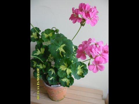 Pelargonium Happy Thought Pink