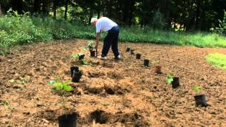 OKRA - TRANSPLANTING INTO THE GARDEN [PART 2]  and CUT WORM TIP (OAG 2015)