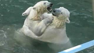Полярные(Белые)Медведи Новосибирского зоопарка(подборка 2:56 - попрошайки 4:54 - прыжок Герды., 2011-05-29T07:31:11.000Z)