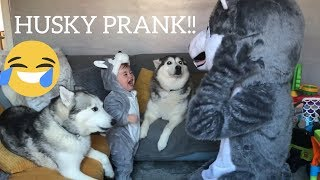 Pranking My Huskies By Becoming Huskies With My Baby!! [TRY NOT TO LAUGH]