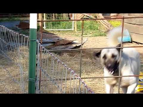 Kangal Dogs: the large Livestock Guardian from Turkey