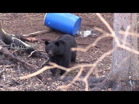 Big Alberta Black Bear Hunt