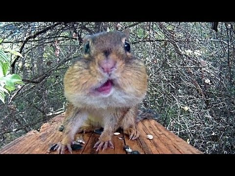 A Most Perfect Chipmunk Video