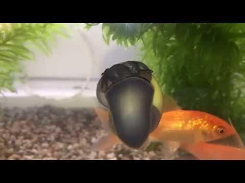 The radula of a mollusc