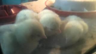 Pierwsze kurczaki