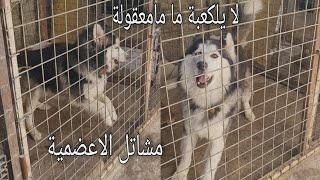 البحث عن كلبي بايكر في مشاتل الاعضمية شوفو الصدمة