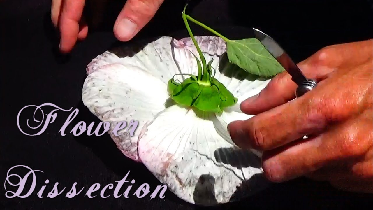 Flower Dissection Expirment Hd 720p Youtube