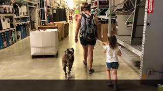 "Pit Bull ""Bella""   Incredible Transformation   San Antonio Dog Trainers"