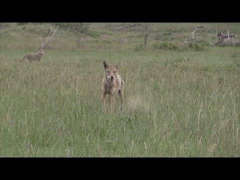 Hot Triple.  (coyote Hunting)