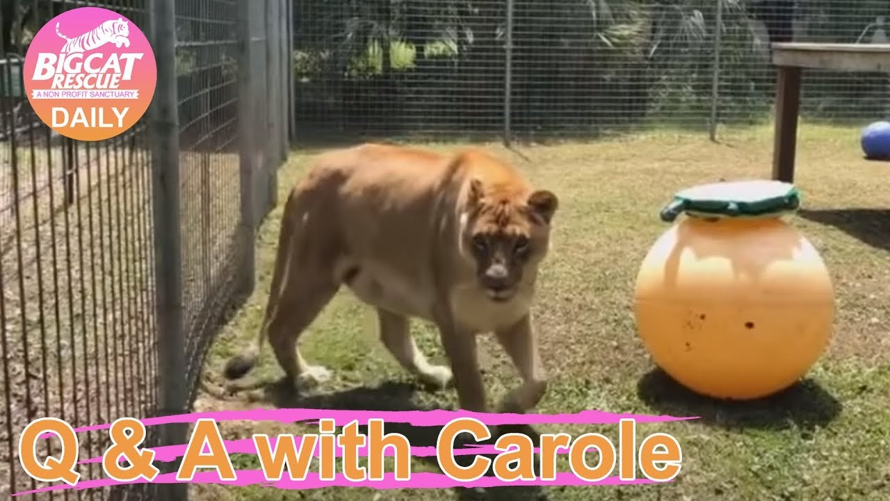 Q&A with Carole~Nikita Lion is more interested in Afton than her Enrichment  Turtle~4 11 2019