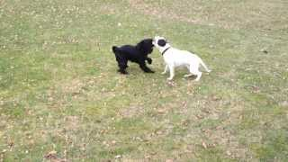 Olde English Bulldogge Playing With A 7 Month Old Schnauzer
