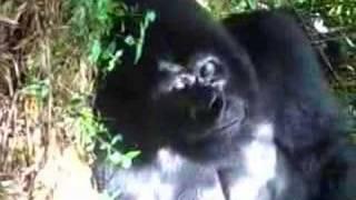 Close ups of the biggest Gorilla alive